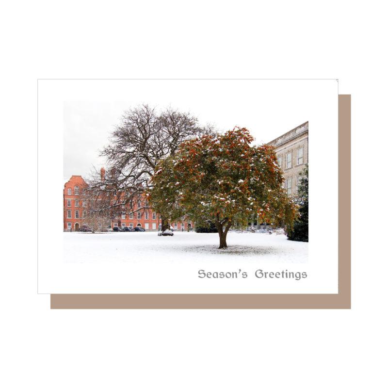 Trinity College Dublin big tree